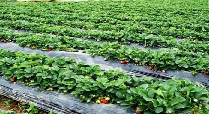 菲律賓遊學必玩必去觀光草莓農場